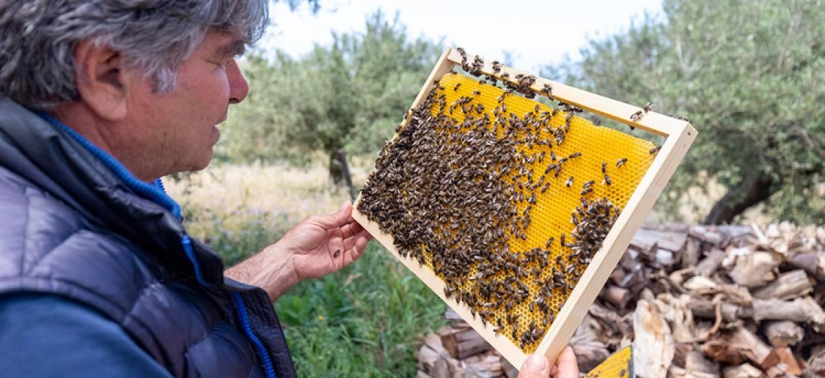 Rinasce a Termini Imerese l'Ape nera Sicula, il suo miele diventa patrimonio inestimabile dal sapore antico e genuino